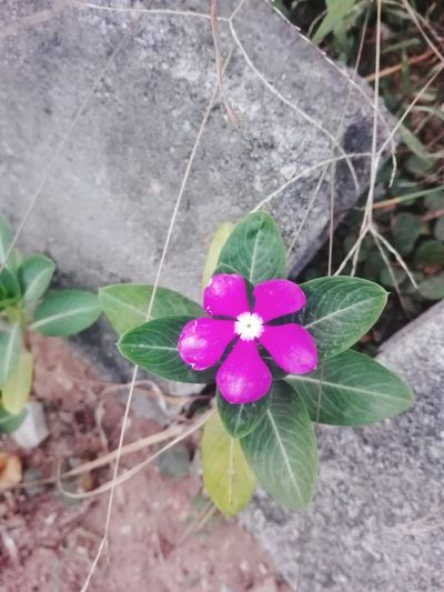 Flower Pink Color Plant Fragility Growth Leaf Purple