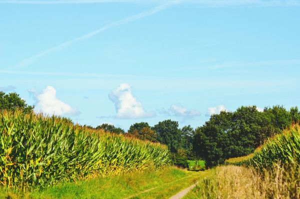 the last sunny days in september Maize Field Maisfeld Landscape Northgermany Nature_collection Nature On Your Doorstep Nature Atmospheric Nature Scenics Maize Field Fields Fieldscape September Sunshine No People Scarecrow