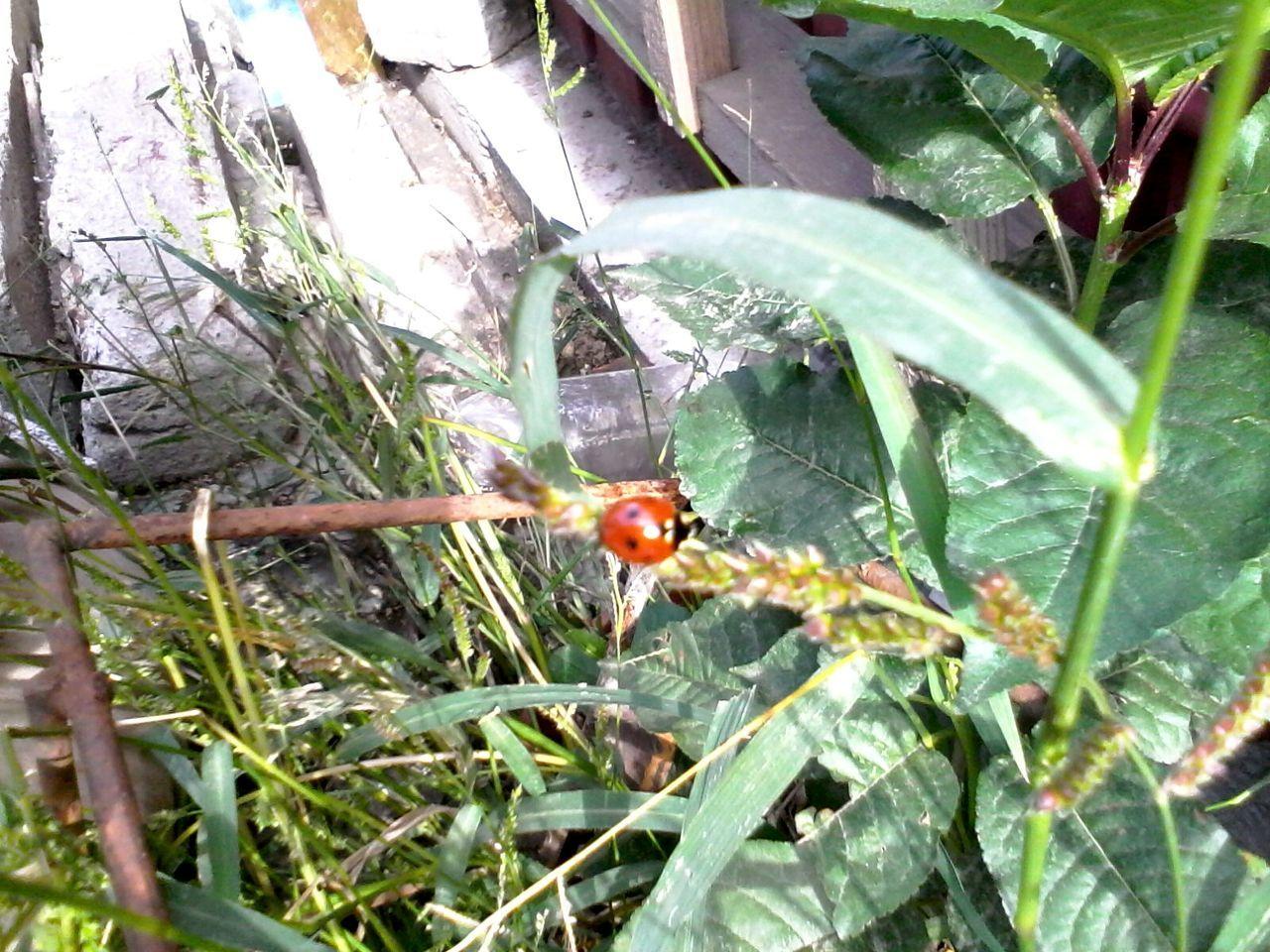 Ladybug Ladybeetle Plants Green Grass Wolfzuachis Eyeem Market Nature