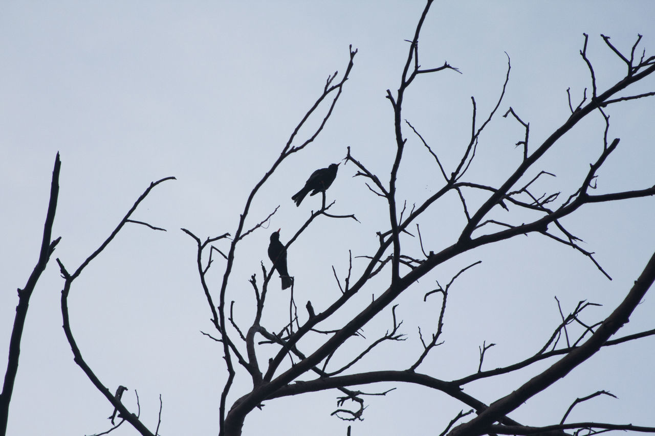 bird, animals in the wild, animal themes, perching, animal wildlife, branch, bare tree, one animal, low angle view, nature, tree, outdoors, no people, day, clear sky, raven - bird, sky, beauty in nature, bird of prey