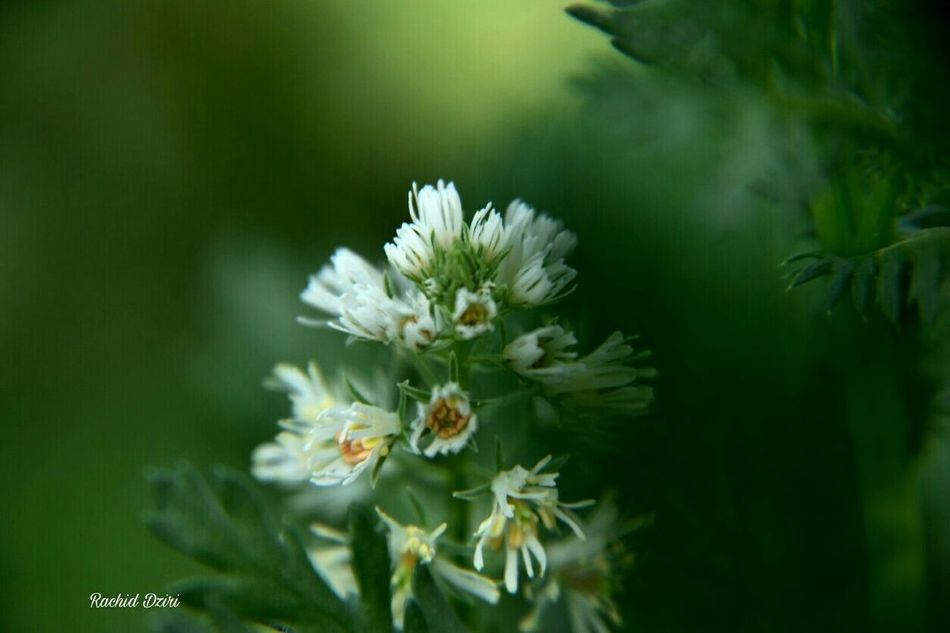 Flower Nature Beauty In Nature Growth Plant Freshness Springtime Flower Head Fragility Close-up Blossom No People Wildflower Outdoors Day Green Morocco 🇲🇦 Oujda City, Morocco Oujda @morocco