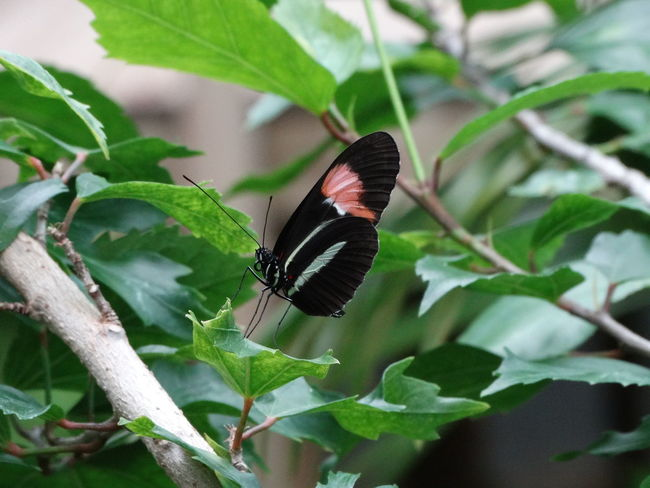 Animal Themes Animal Wildlife Animals In The Wild Beauty In Nature Butterfly - Insect Close-up Day Focus On Foreground Fragility Freshness Green Color Growth Insect Leaf Nature No People One Animal Outdoors Perching Plant Pollination