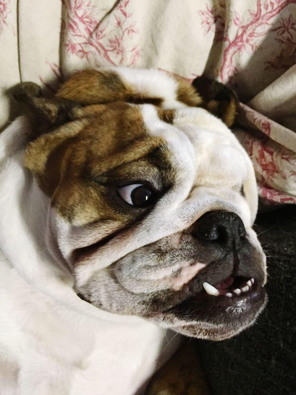 English Bulldog Choupette Bulldog Bulldoganglais First Eyeem Photo