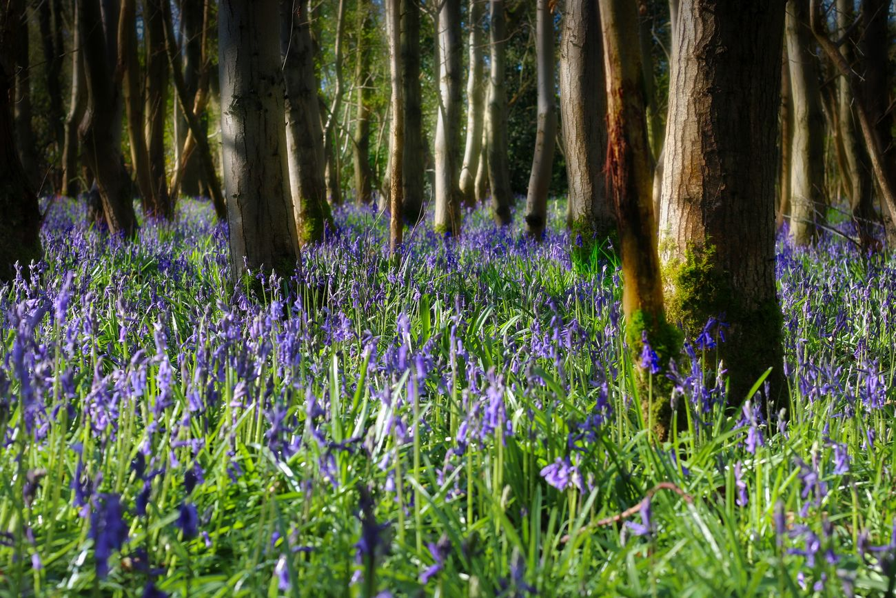 Bluebell Forest Beauty In Nature Day Flower Forest Freshness Grass Growth Nature No People Outdoors Plant Purple Tree