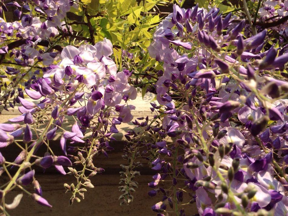 Glicine Flower Growth Wisteria Wisteria Flower Glicine Purple Light Purple Beauty In Nature Blossom Lilac
