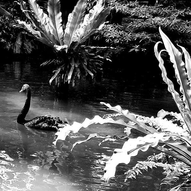 RePicture Travel Photobypinusatk Tourist Weekendfamilytrip Blackandwhite Black Swan EyeEm Nature Lover EyeEm Thailand Wild