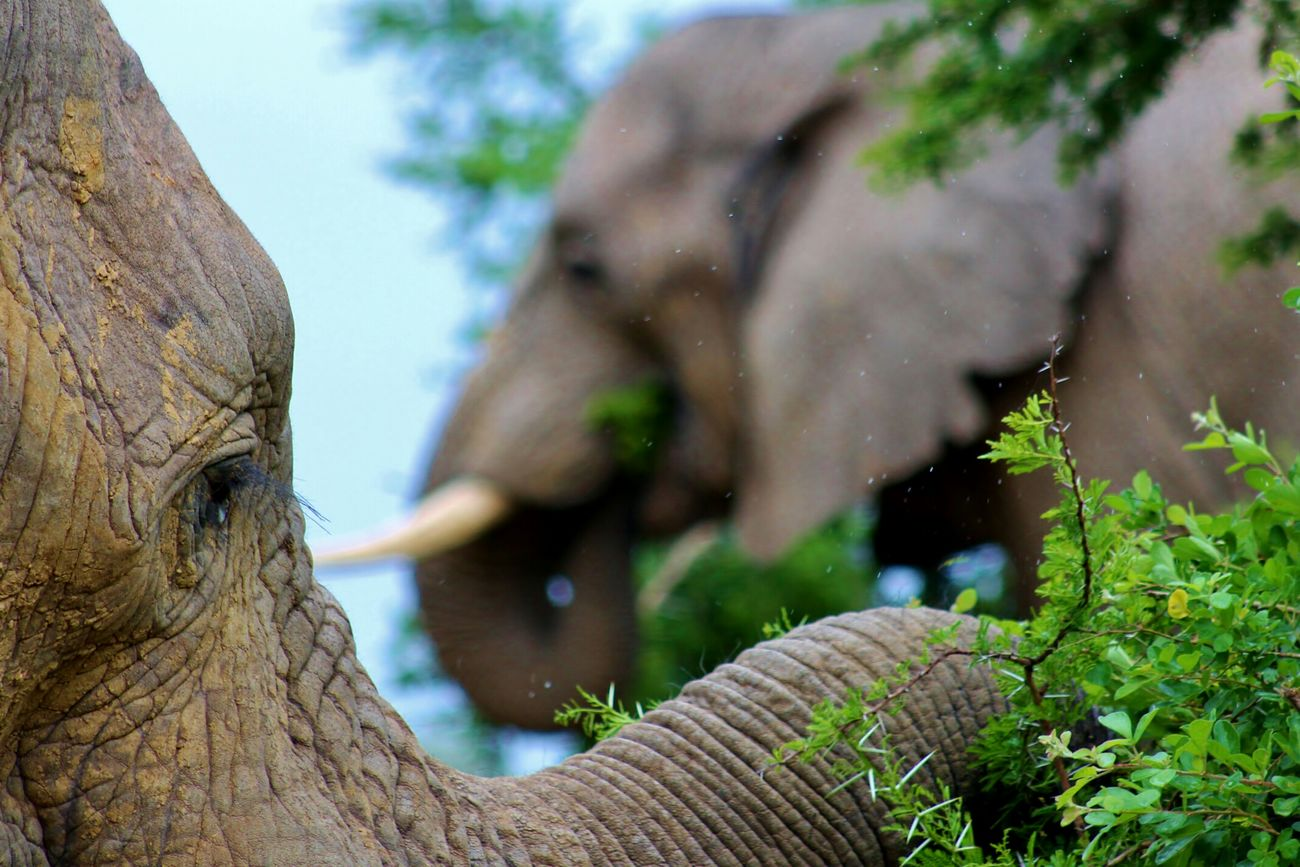 Elephant elephants eating tree leaves south africa safari