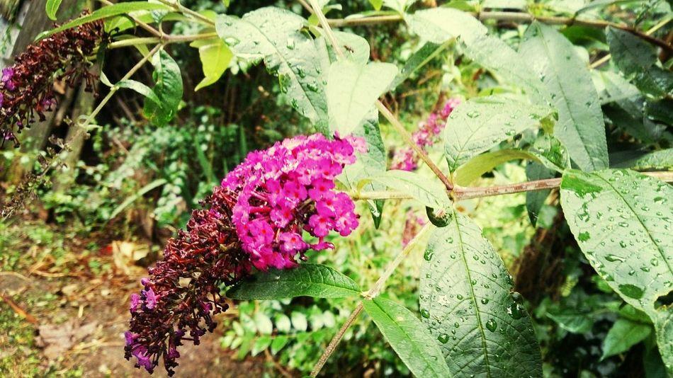 Rosa violeta agua lluvia