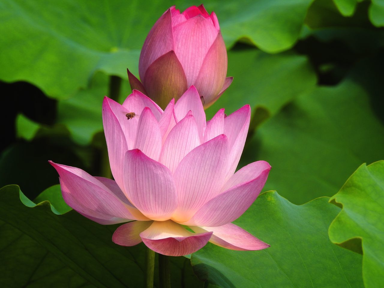 flower, petal, beauty in nature, flower head, nature, fragility, lotus water lily, pink color, growth, lotus, leaf, freshness, plant, blooming, water lily, no people, day, close-up, outdoors