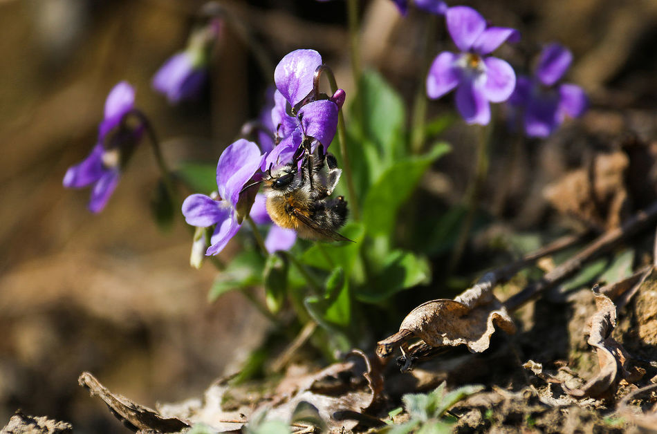 Animal Themes Animal Wildlife Animals In The Wild Beauty In Nature Bee Blooming Close-up Day Flower Flower Head Focus On Foreground Fragility Freshness Growth Insect Nature Honey Bee Melliferous one animal Bee 🐝 Outdoors Plant Pollination Purple Spring Viola Odorata