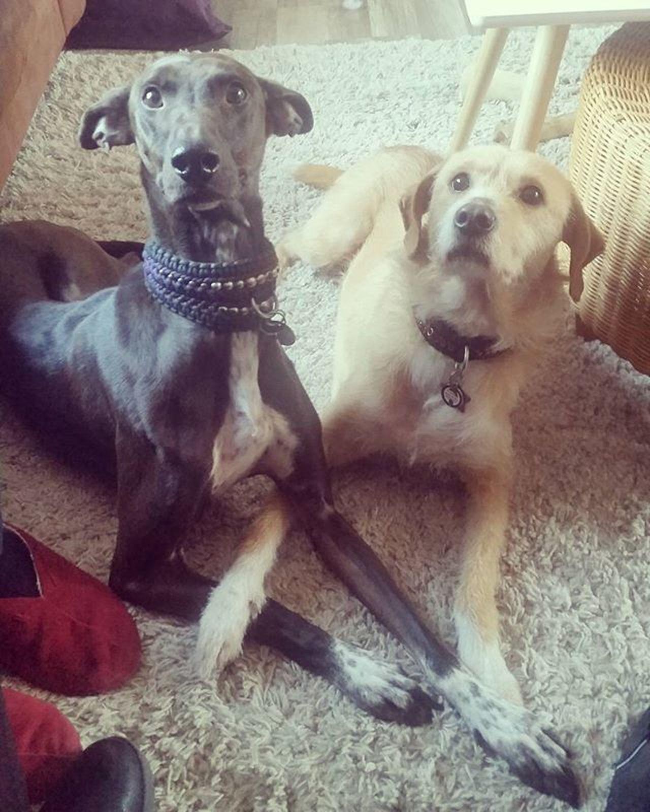 Instapodenco Podencoworld Podenco Spaansepodenco Adopted AdoptDontShop Suha Sinne Hondjes Liefde Love Pet Huisdier Hondje Portugeesepodenco