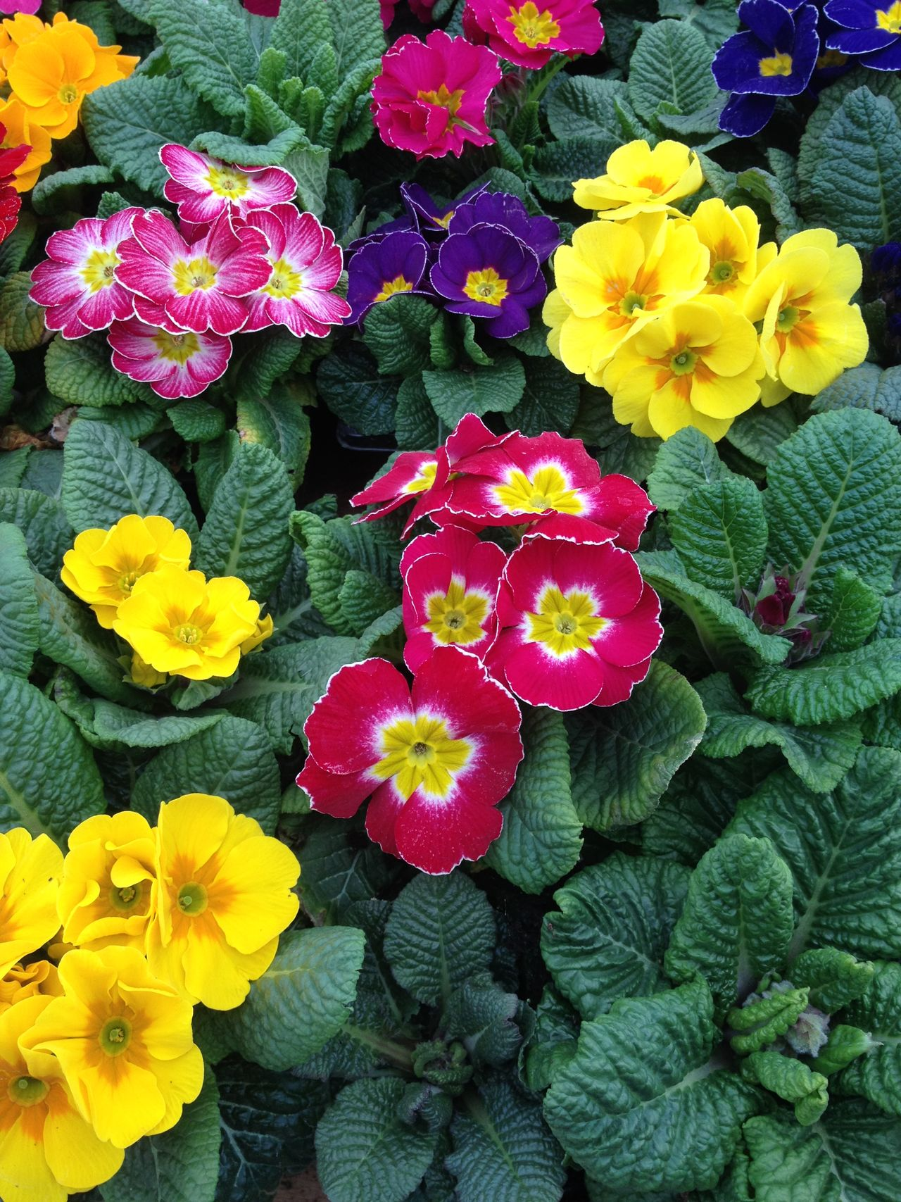 Primula flowers Beauty Beauty In Nature Bloom Blooming Botany Colourful Flora Flower Fragility Freshness Garden Nature Outdoors Petal Pink Plant Primrose Primula Purple Spring Springtime Summer Yellow