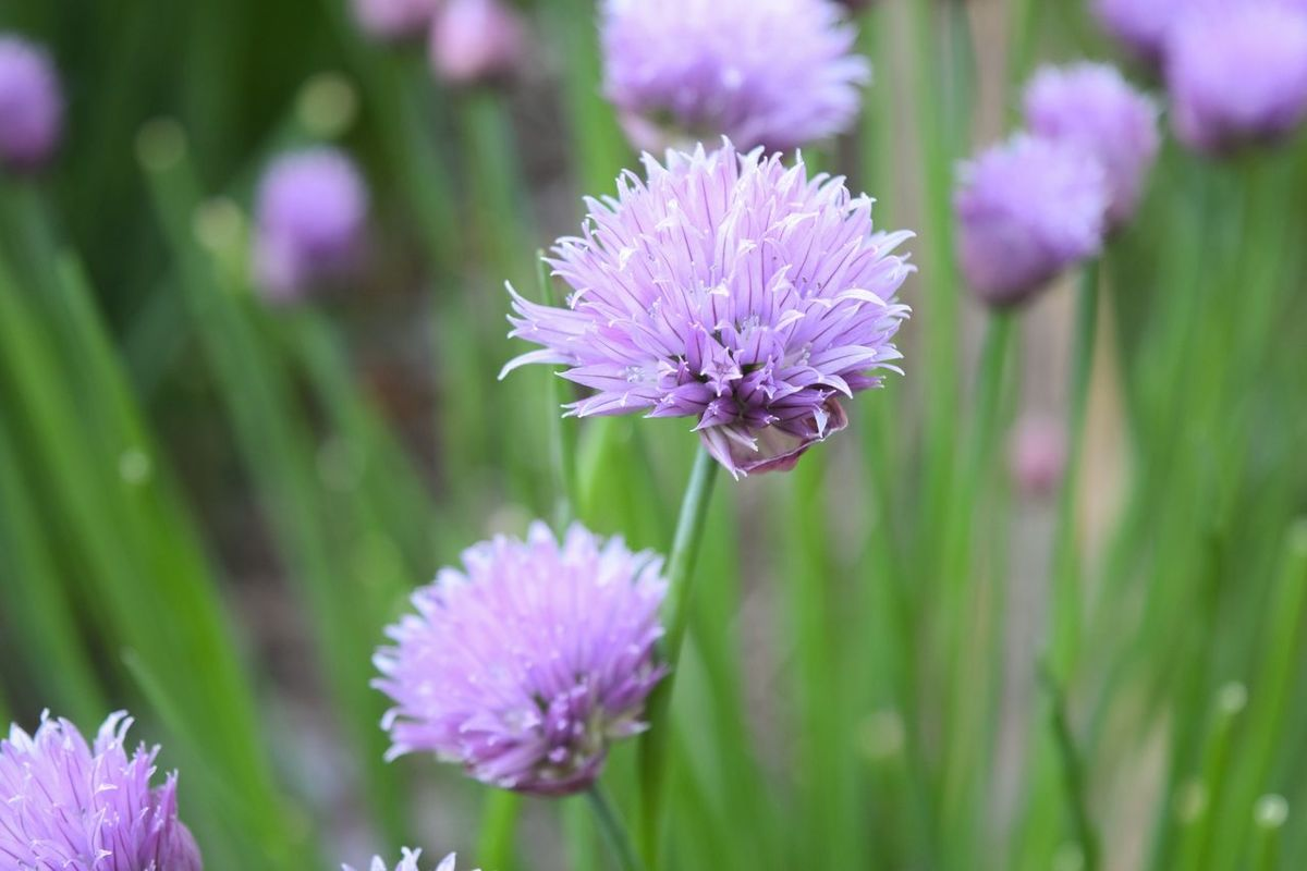 Chive Chives Chive Flower Flowers Flowerporn Flower Collection Flowers,Plants & Garden Flower Purple Flower Nature_collection Nature Nature Photography Naturelovers