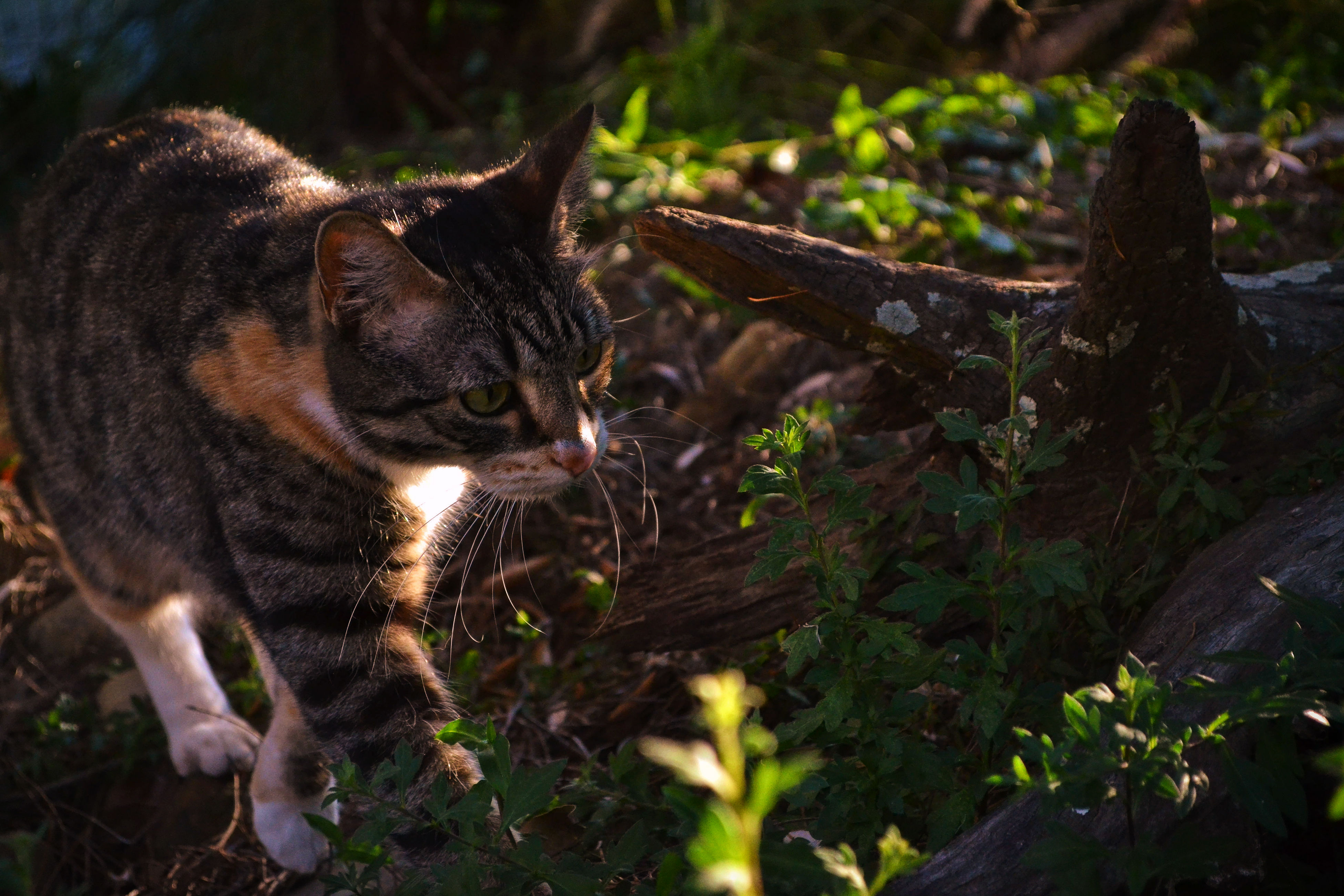 animal themes, one animal, mammal, grass, focus on foreground, cat, field, animal head, plant, domestic animals, domestic cat, day, tranquility, outdoors, no people, woodland