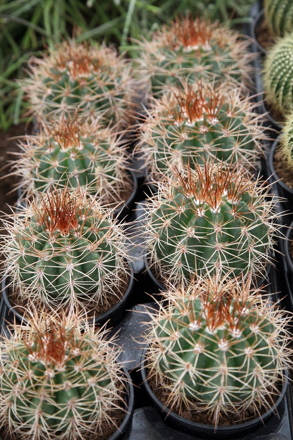 Cactus Beauty In Nature Botanic Botanical Botany Cacti Desert Exotic Flora Floral Freshness Garden Green Growth Nature Needle Plant Prickly Spike Spine Succulent Thorn Tropical Wild