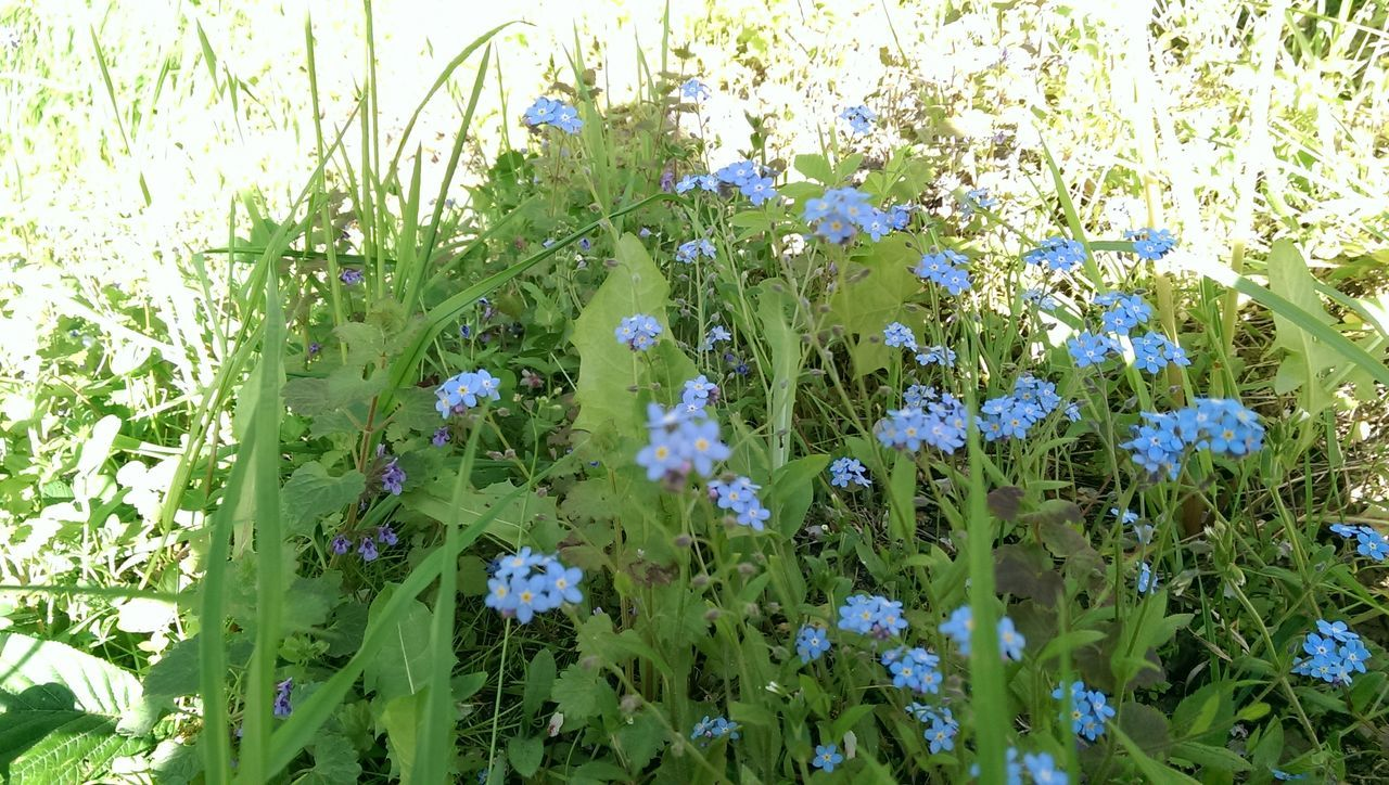 Growth Nature Beauty In Nature Plant Green Color No People Flower Outdoors Fragility Day Close-up Freshness Forget Me Not Forget Me Nots Grass Meadow Nature Nature Photography Latvia Naturephotography Green Blue Blue Flowers Blue Flower Nofilter