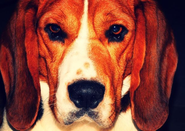 Beauty In Nature Close-up Animal Themes Mammal Dog One Animal Pets Domestic Animals Lily May Collection Lilymayparker.blogspot.be From My Point Of View Front View Beagle Dog