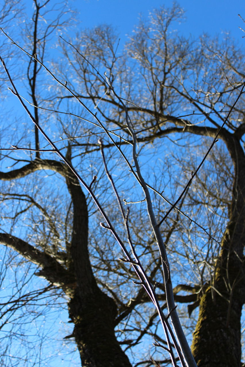 tree, bare tree, branch, low angle view, nature, day, growth, tree trunk, outdoors, sky, no people, beauty in nature, blue, clear sky