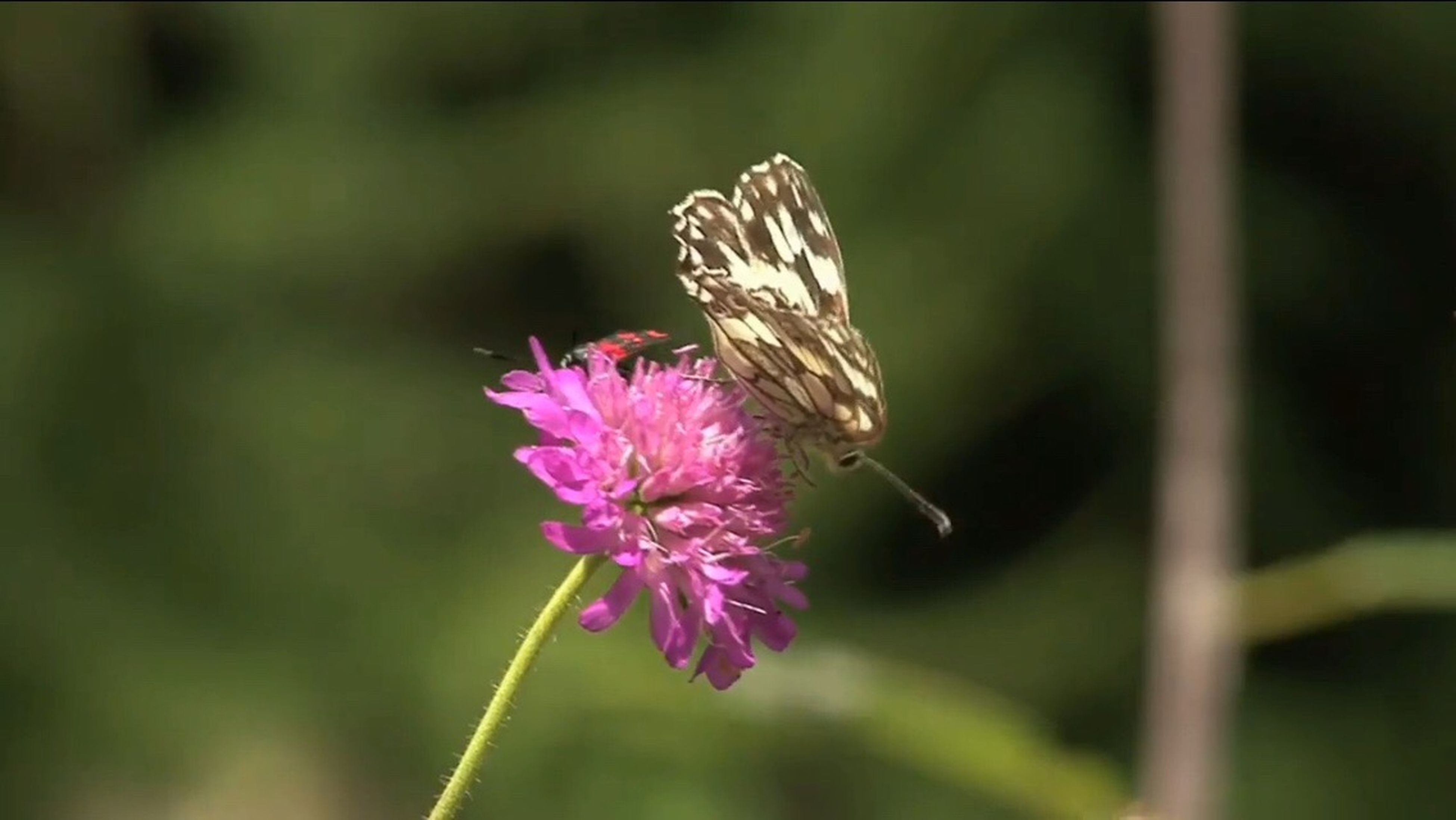 flower, insect, wildlife, fragility, focus on foreground, freshness, beauty in nature, petal, pink color, close-up, pollination, butterfly - insect, growth, butterfly, nature, flower head, plant, purple, blooming, stem, day, outdoors, selective focus, no people, blossom, in bloom, botany, animal markings
