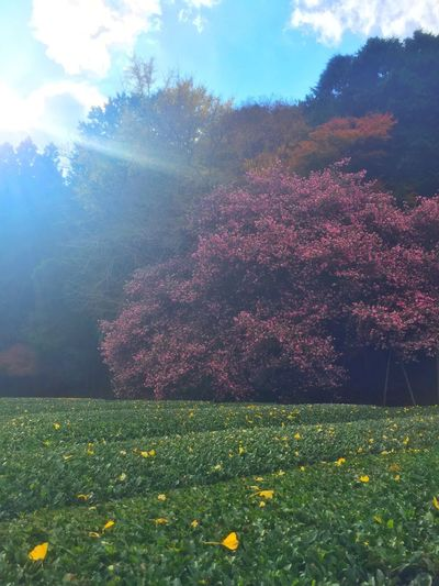 Flower Nature Beauty In Nature Tree 茶畑 いちょう Autumn Leaves Autumn Colors Autumn サザンカ さざんかの大木 初冬