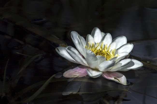 Beautiful Beauty In Nature Blooming Blossom Botany Close-up Floating On Water Flower Flower Head Focus On Foreground Fragility Freshness Lelie Lily Lily Flower Nature No People Plant Pond Softness Taking Photos Water Flower Waterbloem White White Color