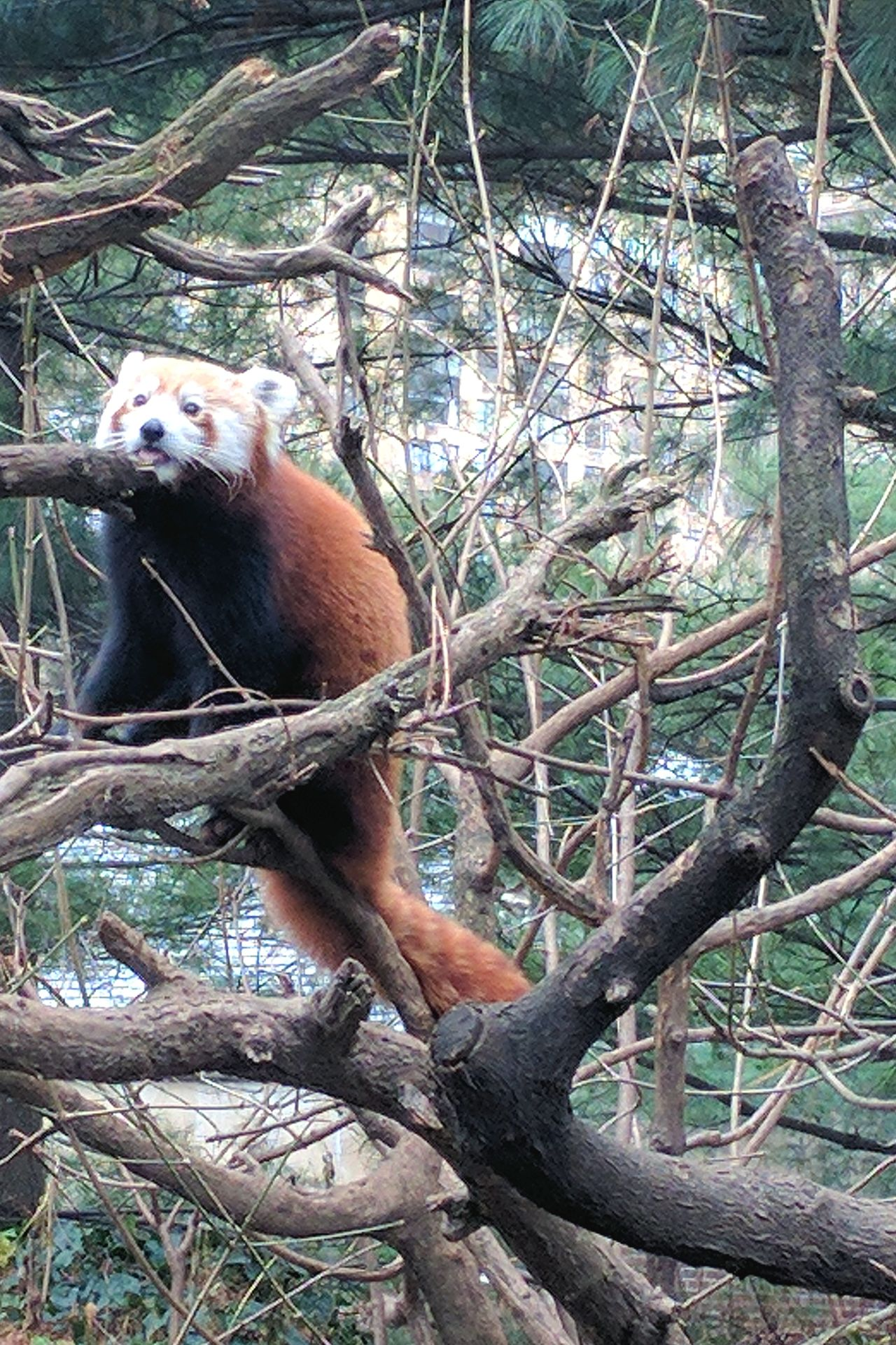 Animal Themes Sitting Animals In The Wild One Animal Tree Mammal Branch Nature Outdoors Day No People Panda Red Panda Tongue Tongue Out
