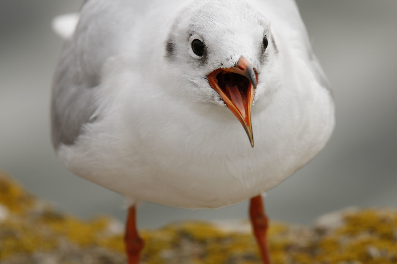 Animal Head  Animal Themes Animals In The Wild Beak Beauty In Nature Bird Blackcap Blackheaded Gull Close-up Focus On Foreground Nature No People One Animal Selective Focus White White Color Wildlife