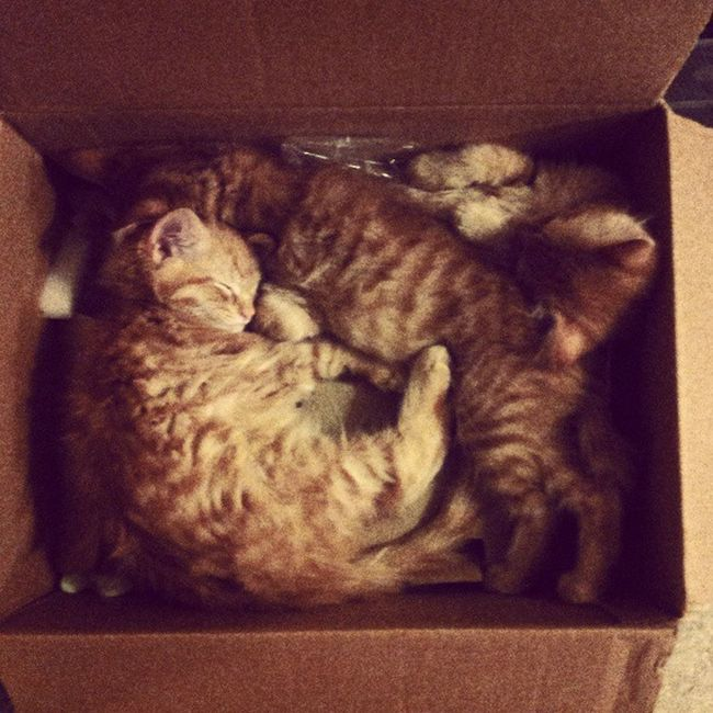 Box full of kitties, anyone? Kittens Kittensinabox Sleepkitties Fedexcats catstagram catsoftheinternet