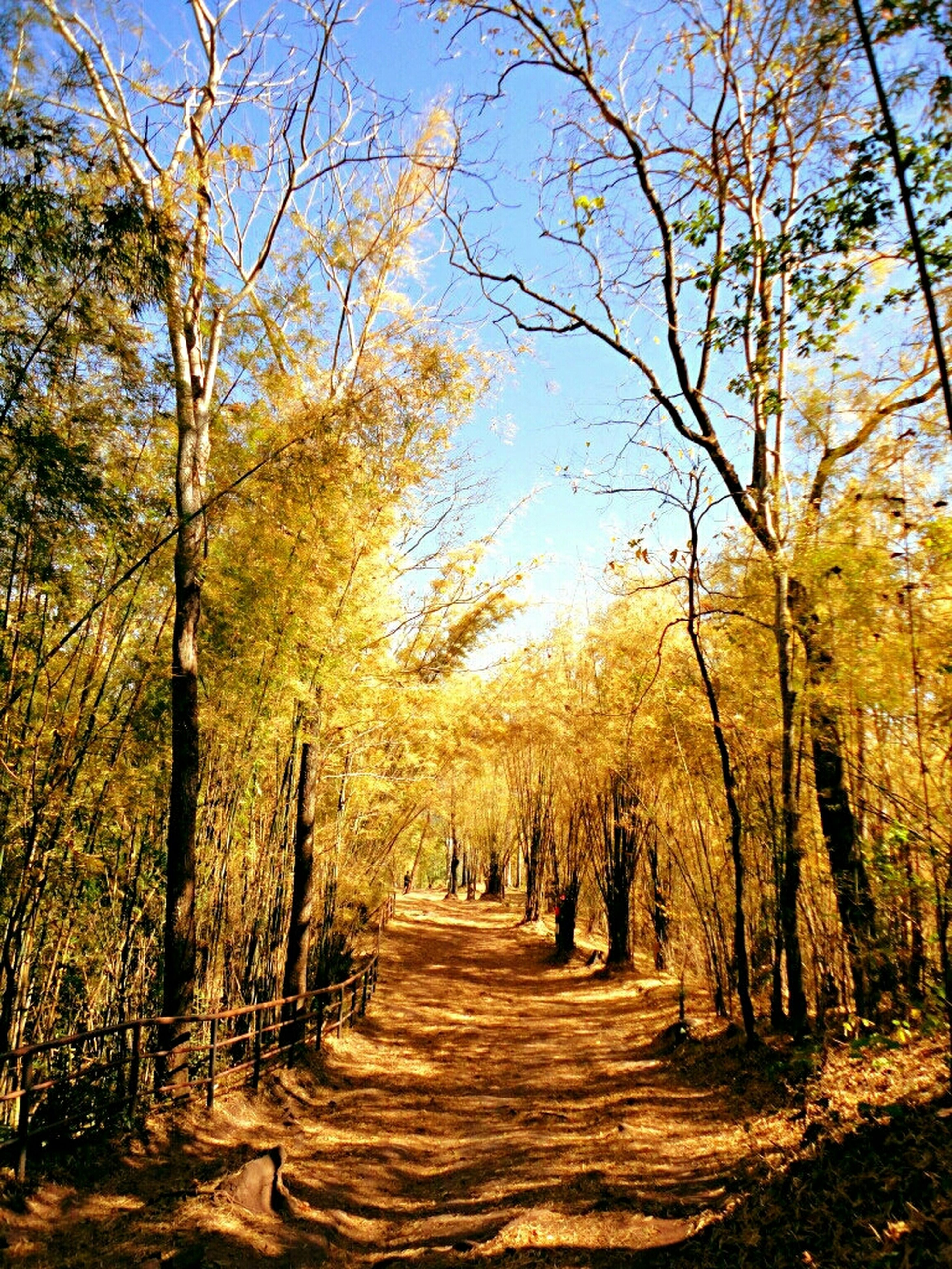 tree, the way forward, tranquility, tranquil scene, nature, growth, diminishing perspective, beauty in nature, branch, tree trunk, treelined, scenics, forest, vanishing point, footpath, clear sky, autumn, dirt road, sunlight, landscape