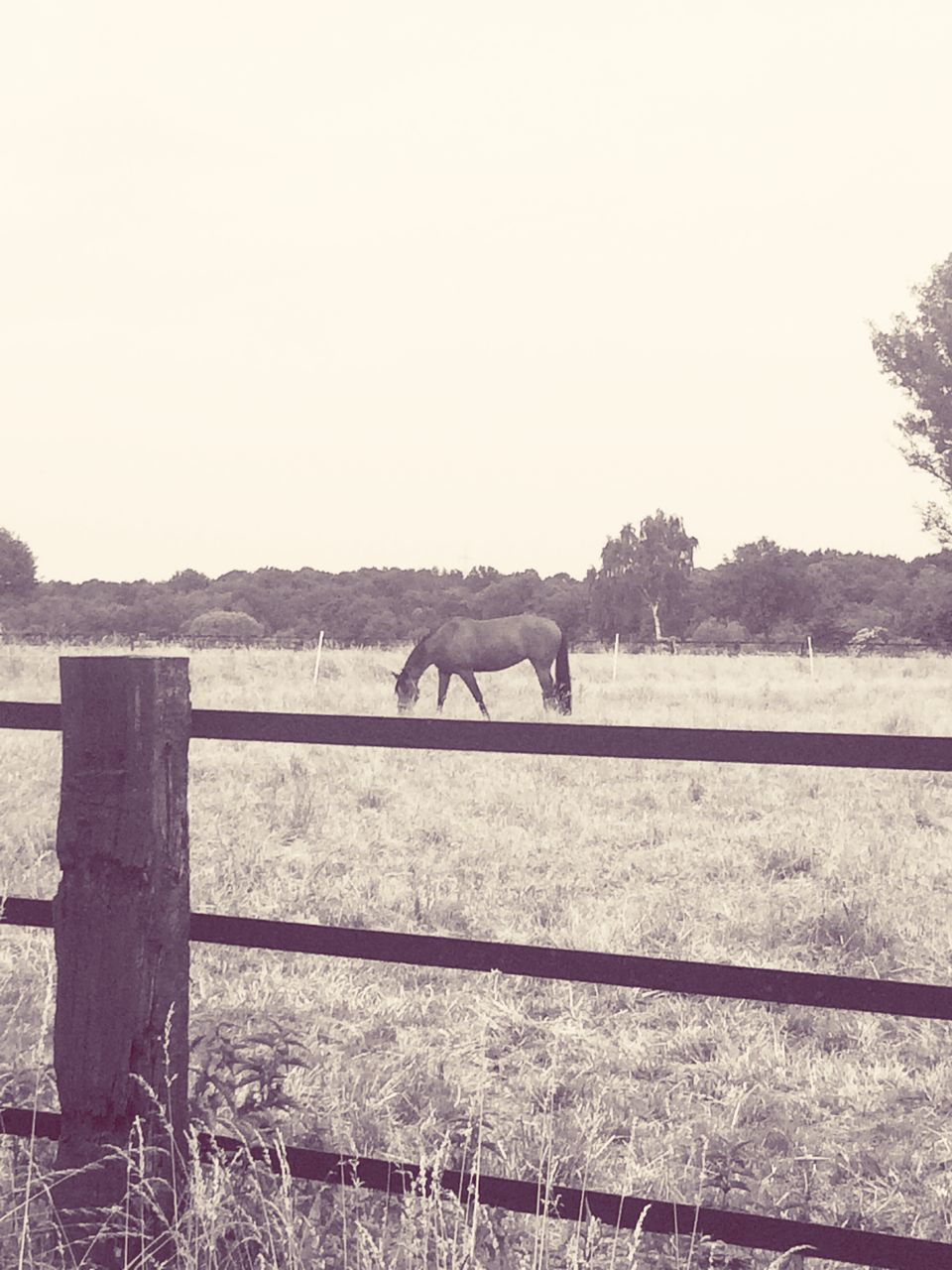 horse, animal themes, mammal, no people, nature, outdoors, landscape, domestic animals, field, one animal, day, livestock, paddock, grazing, clear sky, sky, beauty in nature, tree