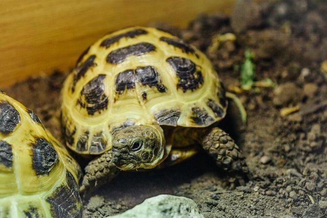 Pet Tortoise Horsefield Tortoise Reptile Naturalhabitat Selective Focus One Animal Nikond5300 Nikon
