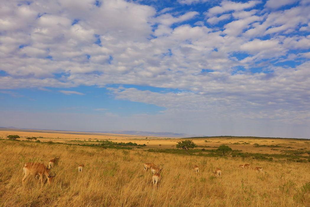 endless wideness of Maasai Mara, Kenya Cloud - Sky Ecosystem Maasai Mara Endless Plain Endless Wideness Endlessness Grassy Horizon Over Land Kenya Landscape Maasai Mara National Park National Park Kenya Red Hartebeest Red Hartebeest In Massai Mara Tranquil Scene Wide Landscapes Wideness Wildlife & Nature