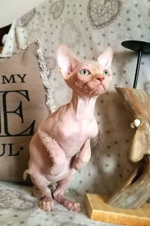 Sphynx Pets No People Domestic Animals Indoors  Mammal Cat Animal Body Part Animal Themes Young Animal One Animal Sphynxlove Animal Portrait Cute Sphynxportrait Sphynx Nature Day
