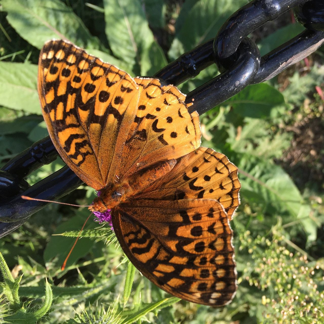 Great fritillary we saw on our walk by the river today. In Nashua, NH visiting family. Butterfly - Insect One Animal Wildlife Insect Animal Themes Animals In The Wild Butterfly Natural Pattern Close-up Animal Markings Animal Wing Orange Color Great Fritillary Macro Macro_collection Macro Photography Macro Nature Macro Beauty