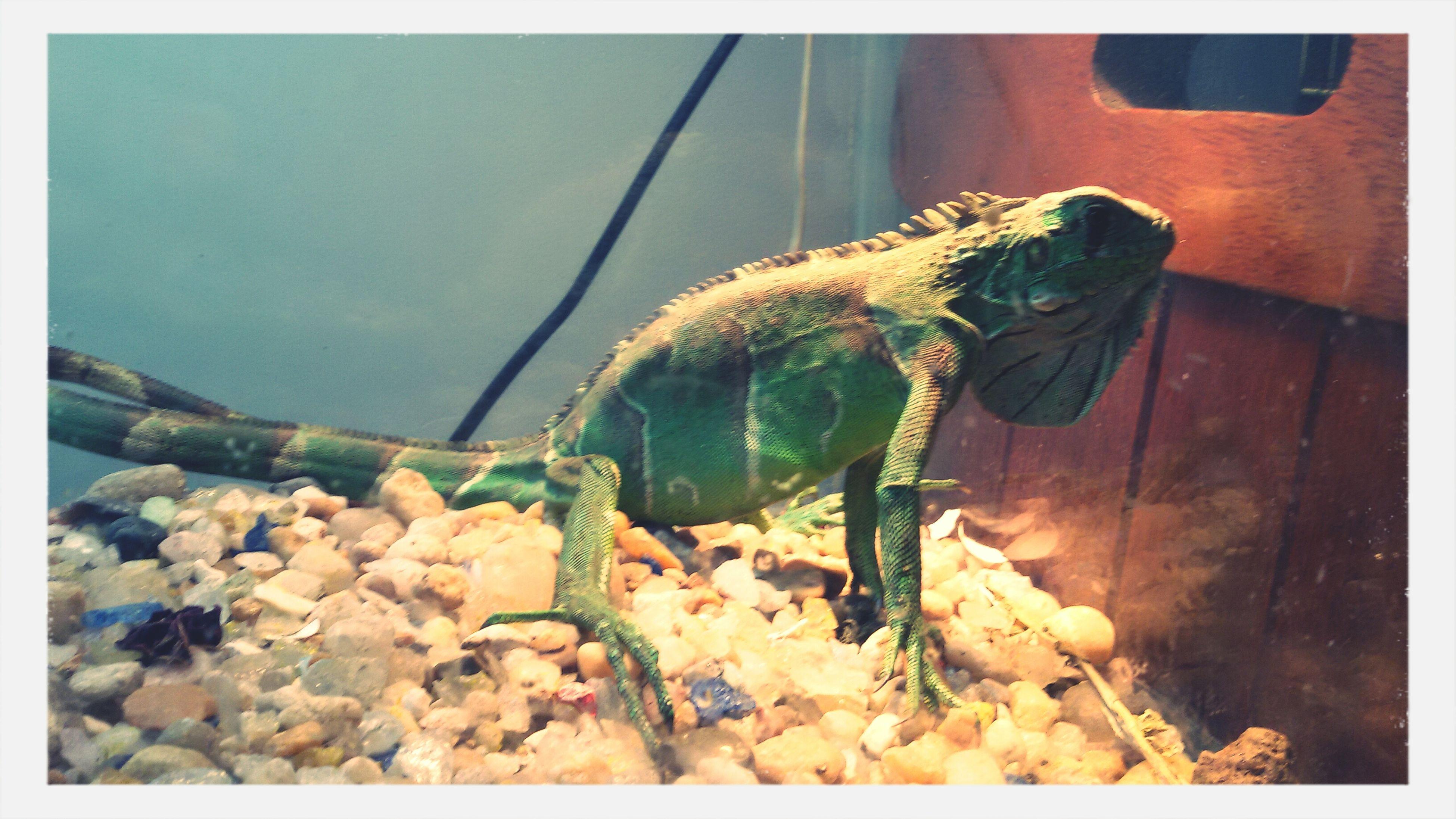 Meet Dharma, my god daughter Iguana Pets Weird Pets