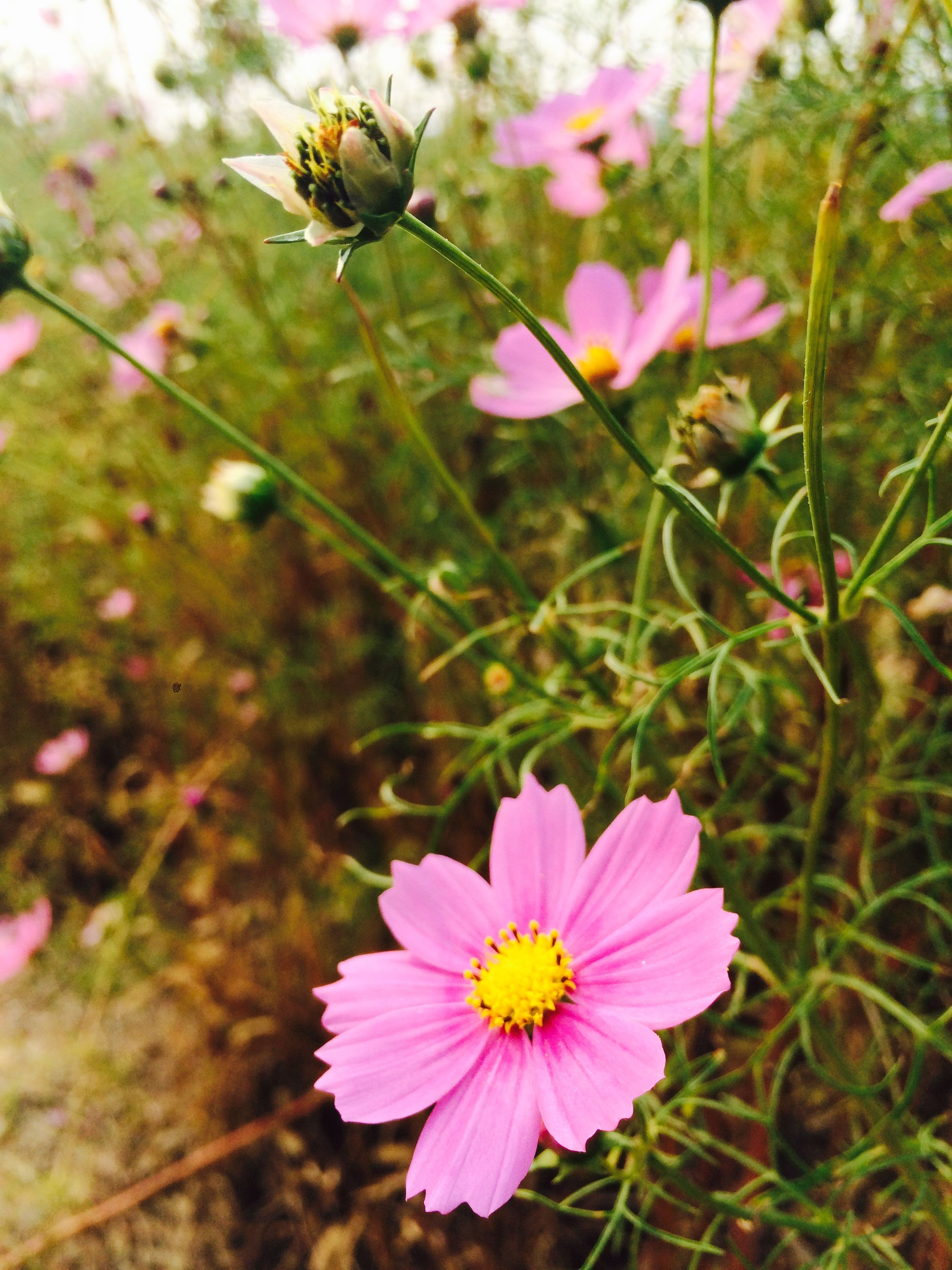 flower, freshness, petal, fragility, growth, pink color, flower head, beauty in nature, blooming, focus on foreground, nature, plant, close-up, in bloom, blossom, stem, pollen, day, springtime, field
