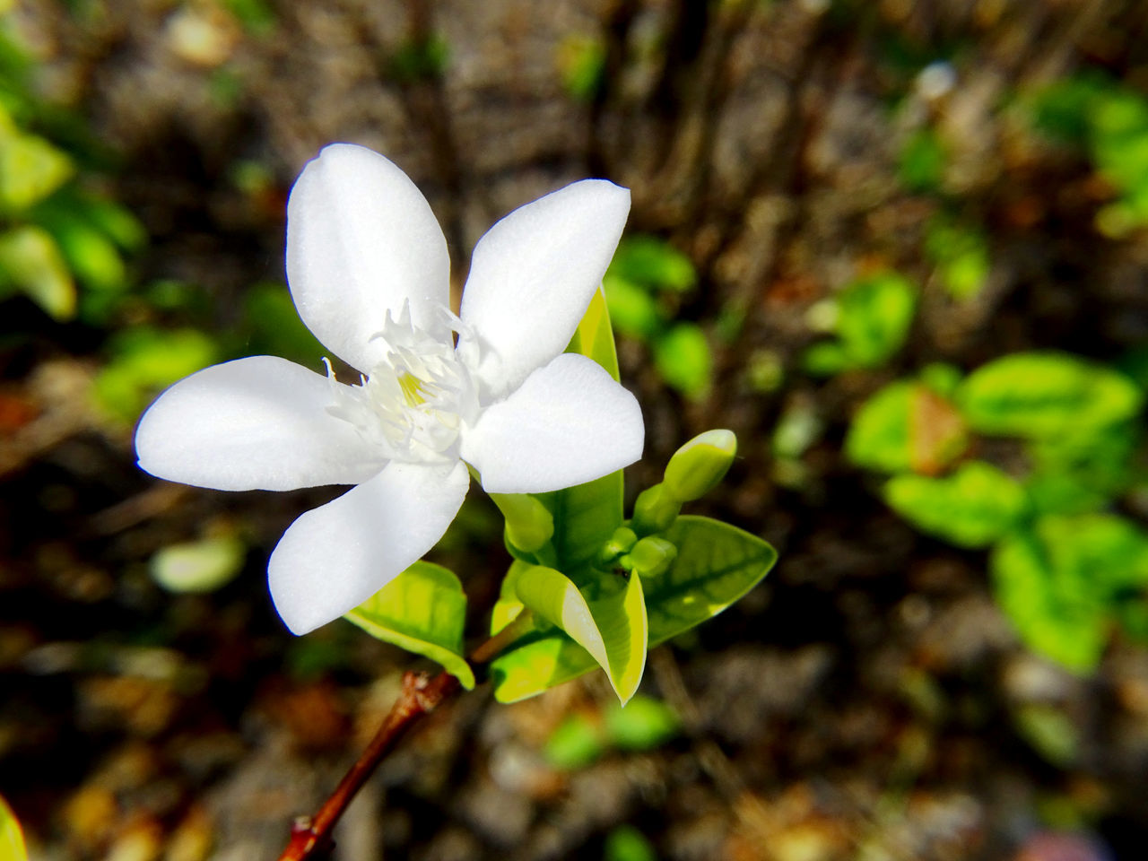 Beauty In Nature Blooming Close-up Day Flower Flower Head Fragility Freshness Growth Jasmine Jasmine Flower Jasmine Flowers Leaf Nature No People Outdoors Petal Plant