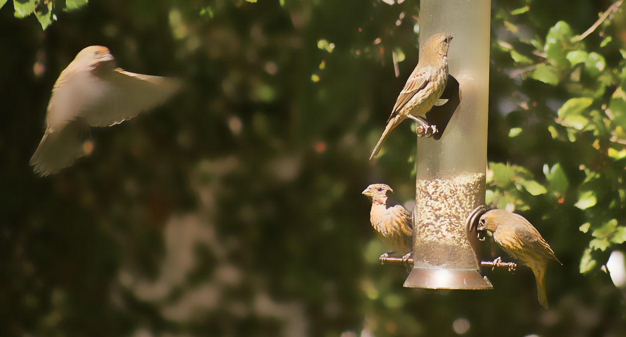 Backyardphotography Bird Bird Feeder Bird Series Close-up Finches Flying No People Perching