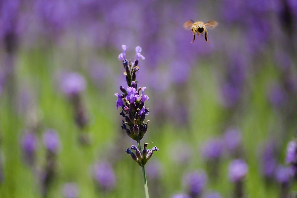 Beautiful stock photos of macro, Abundance, Animal Themes, Bumblebee, Day