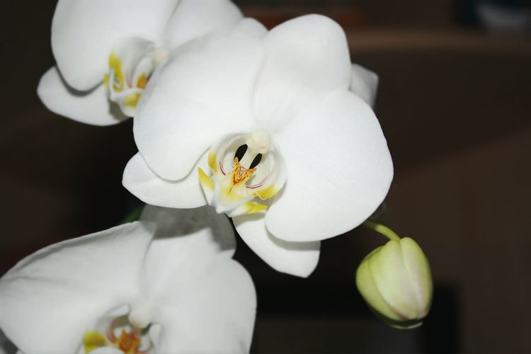 Orchidea Phalaenopsis Orchid White Orchid Flowers Tropical Flowers Samsungphotography NX2000 Camera Samsung NX2000 Plants 🌱