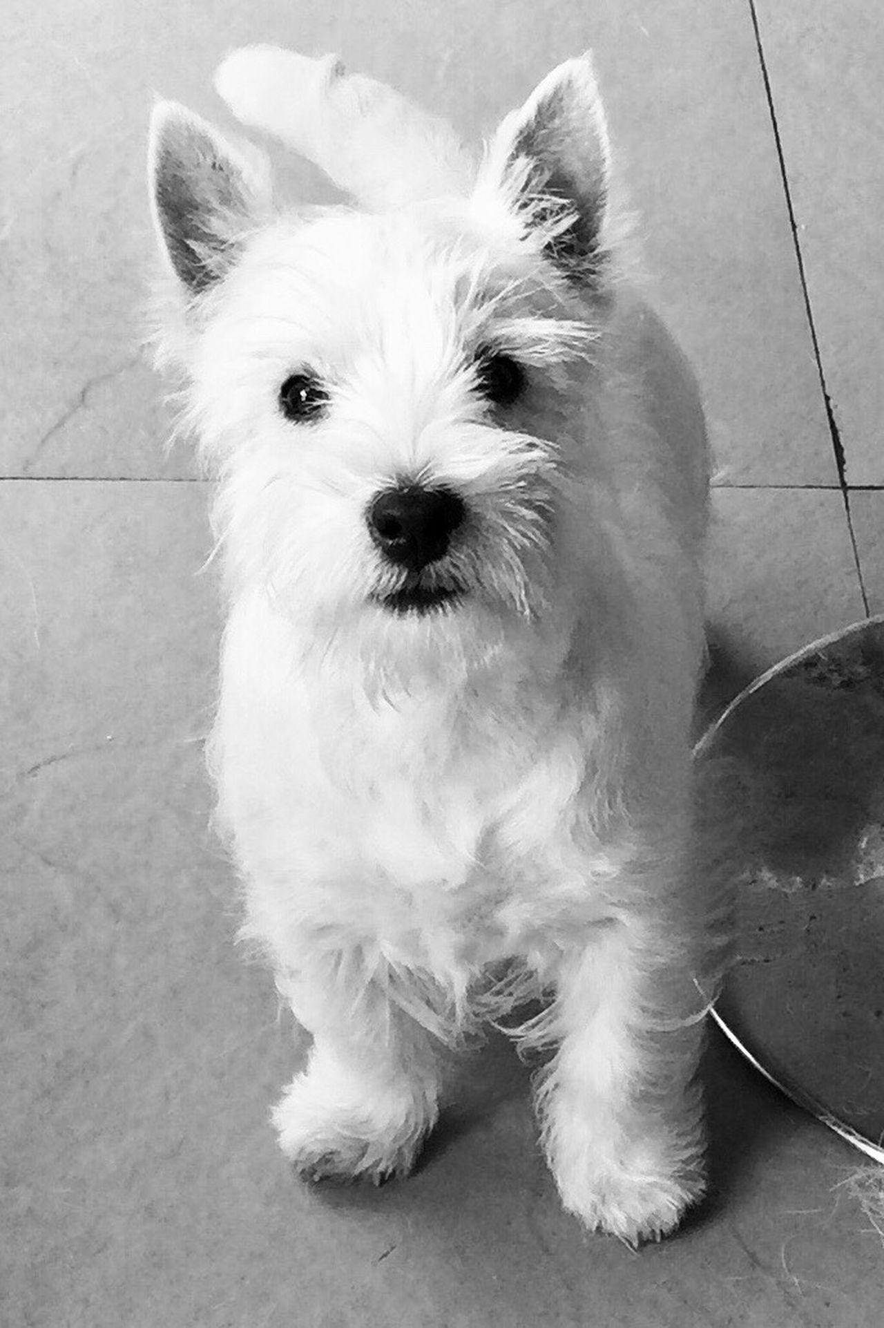 Sena Westies Westy Dog Puppy Perro White Blanco B&W Blanco y Negro Animal Themes