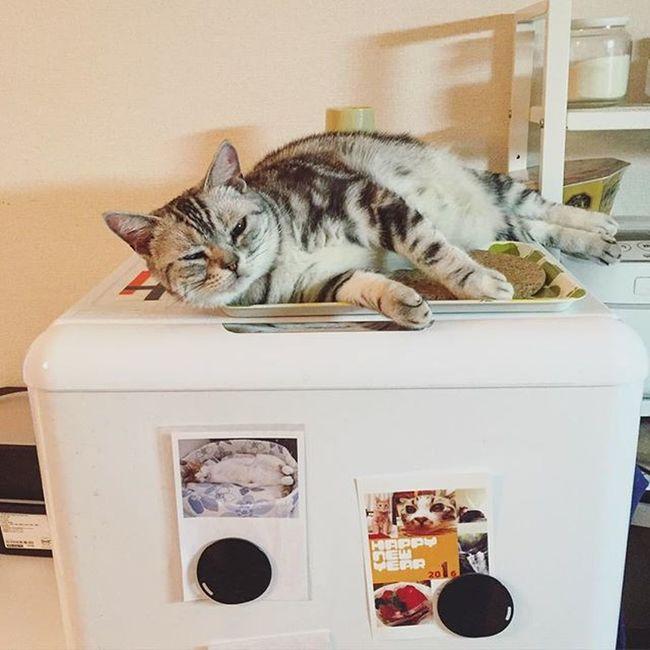 Cat Neko ねこ 猫 ねこ Cats アメリカンショートヘアー アメショ Americanshorthair ズズ ズズ子 Zuzu ズズっぺ シルバータビー 冷蔵庫上のズっぺでおやすみなさい…😚😽💤