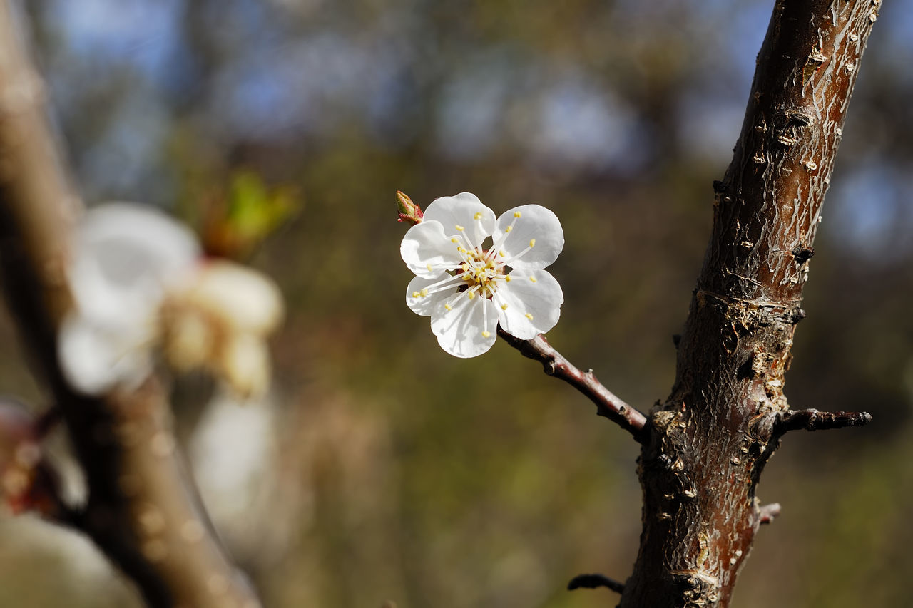 Apricot Apricot Flowers Apricot Tree ApricotBlossom Beauty In Nature Branch Close-up Day Flower Flower Head Focus On Foreground Fragility Freshness Growth Nature No People Outdoors Petal Tree Tree Trunk Twig White Color
