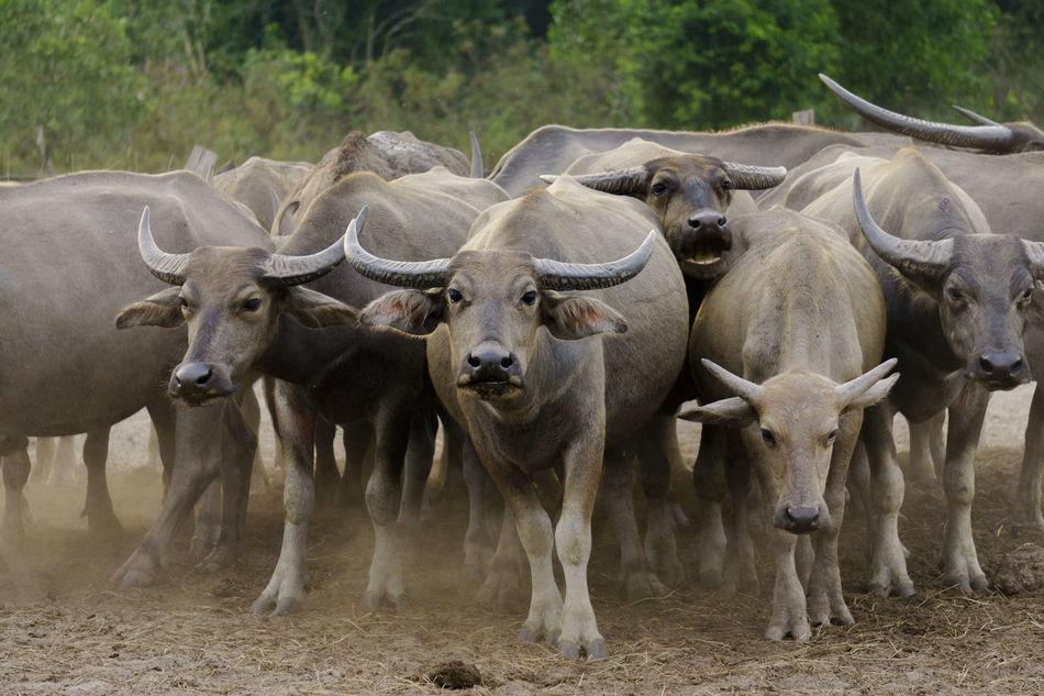 Beautiful stock photos of buffalo,  Agriculture,  Animal Themes,  Buffalo,  Day