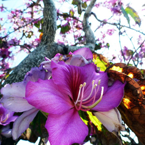 purple bauhinia flower growing on the tree trunk on golden leaves background Bauhinia Bauhinia Blossom Beauty In Nature Blooming Blossom Composition Flower Focus On Foreground Gold Light And Shadow Nature Nature Nature Photography Nature_collection Nature_perfection Naturelovers Pink Color Purple Purple Flower Tree Tree Trees Trunk Twig