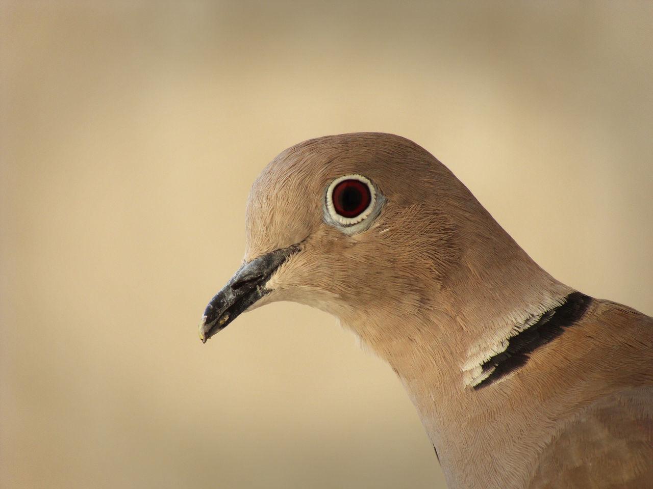 Beautiful stock photos of dove, Animal Eye, Animal Themes, Animal Wildlife, Animals In The Wild