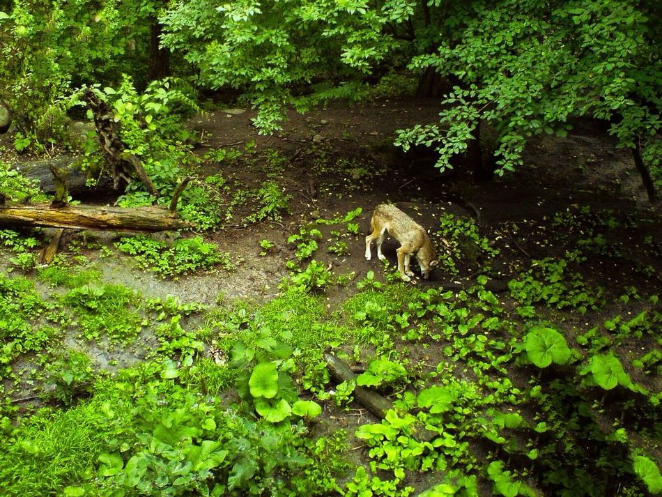 Beautiful stock photos of wolf, Animal Themes, Day, Full Length, Green