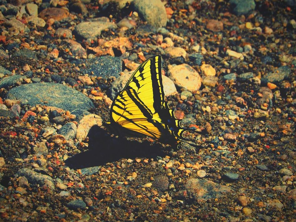 Yellowbutterfly Beauty In Nature Butterfly Colorado Goldencolorado