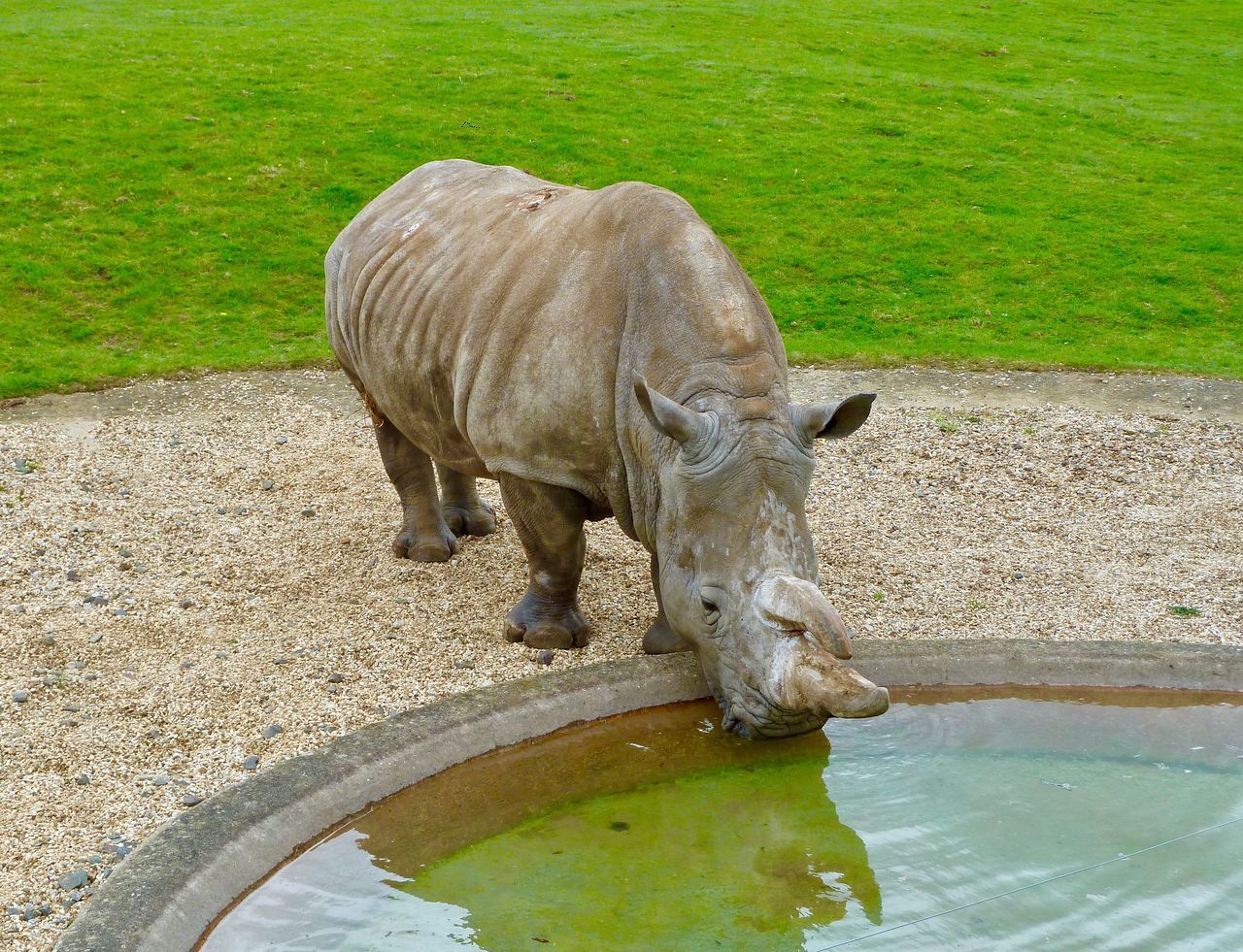 Rhinoceros Whipsnade Zoo One Animal Water Animal Themes Mammal Animal Wildlife No People Domestic Animals Nature Livestock Day Water Buffalo Outdoors Grass Animals In The Wild Full Length Drinking