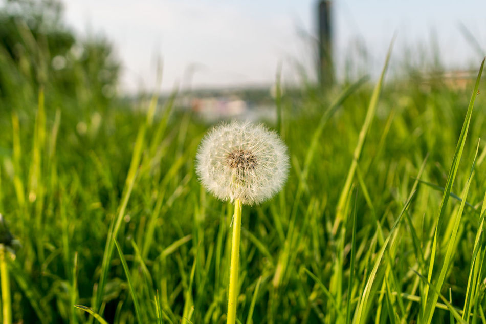 Beauty In Nature Close-up Dandelion Day Field Flower Flower Head Focus On Foreground Fragility Freshness Grass Growth Nature No People Outdoors Plant Uncultivated